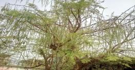 কালাইয়ে সাজনার বাম্পার ফলন