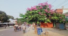 আক্কেলপুরে প্রকৃতির এক অপার সৌন্দর্য জারুল ফুল