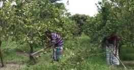 মাল্টা চাষে জয়পুরহাট জেলাকে বদলে দিয়েছেন রওশন জামিল