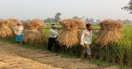 জয়পুরহাটে আমন ধানের সবুজ-সোনালী শীষে দুলছে কৃষকের স্বপ্ন