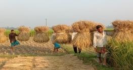 জয়পুরহাটে আগাম আমন ধানে কৃষকের মুখে হাসি