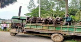 গোবিন্দগঞ্জ থেকে ছিনতাইকৃত ৪টি মহিষ আক্কেলপুরে উদ্ধার