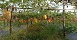 কম খরচে বেশী লাভ, কালাইয়ে জনপ্রিয় হচ্ছে তরমুজ চাষ