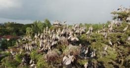 বিরল প্রজাতির 'শামুক খোল পাখি বাসা বেঁধেছে জয়পুরহাটে